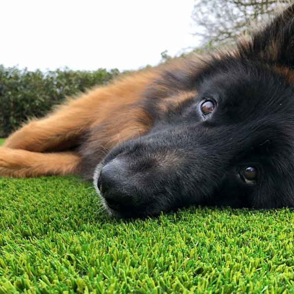 dog runs on artificial lawns